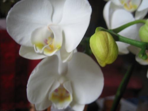 Mondorchidee Blüte und Knospe